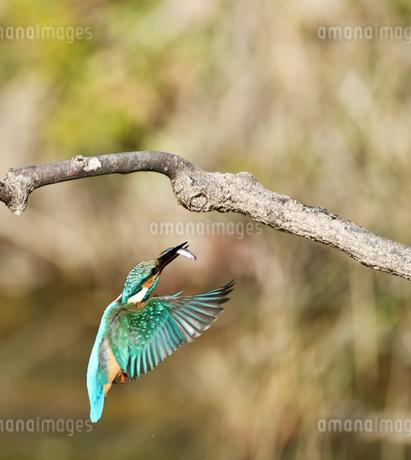 小魚を獲ったカワセミの写真素材 [FYI03386382]