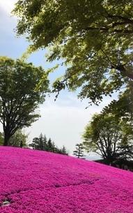 芝桜の写真素材 [FYI03386420]
