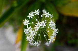 白いペンタスの花の写真素材 [FYI03386443]