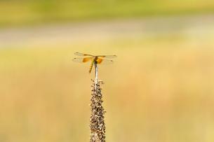 枯れ草の上にとまっているオレンジ色の帯があるトンボの後ろ姿の写真素材 [FYI03386470]