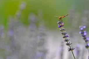 ラベンダーの花の上にとまっているトンボの写真素材 [FYI03386486]