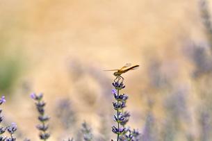 ラベンダーの花の上にとまっているトンボの写真素材 [FYI03386488]
