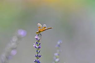 米コロラド州デンバー郊外で、ラベンダーの花にとまっているトンボの写真素材 [FYI03386489]