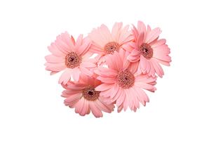 ガーベラの花束の写真素材 [FYI03386503]