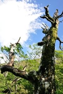 夏山の古木の写真素材 [FYI03386563]