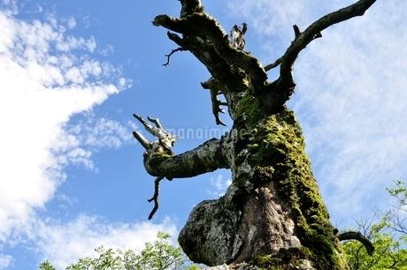 夏山の古木の写真素材 [FYI03386564]