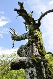 夏山の古木の写真素材 [FYI03386566]