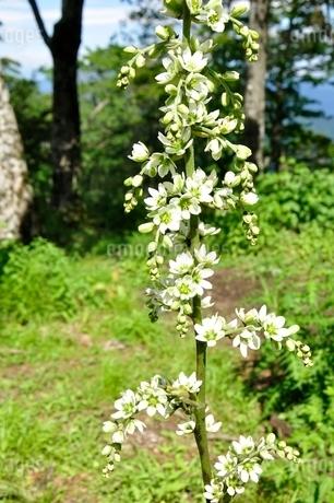 オオバイケイソウの花の写真素材 [FYI03386591]