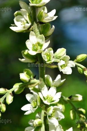 オオバイケイソウの花の写真素材 [FYI03386592]
