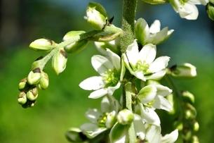 オオバイケイソウの花の写真素材 [FYI03386593]