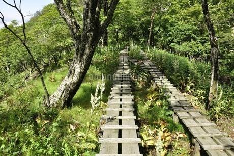 オオバイケイソウの咲く登山道の写真素材 [FYI03386606]