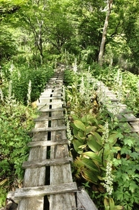 オオバイケイソウの咲く登山道の写真素材 [FYI03386609]