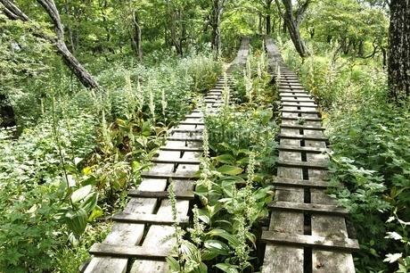 オオバイケイソウの咲く登山道の写真素材 [FYI03386610]