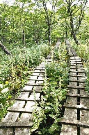 オオバイケイソウの咲く登山道の写真素材 [FYI03386611]