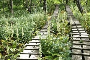 オオバイケイソウの咲く登山道の写真素材 [FYI03386612]