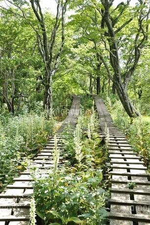 オオバイケイソウの咲く登山道の写真素材 [FYI03386613]