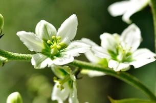 オオバイケイソウの花の写真素材 [FYI03386616]