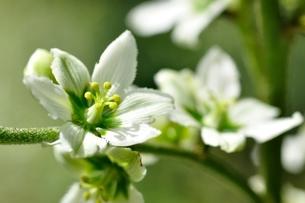 オオバイケイソウの花の写真素材 [FYI03386617]