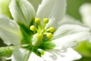 オオバイケイソウの花の写真素材 [FYI03386619]
