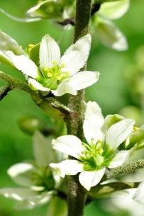 オオバイケイソウの花の写真素材 [FYI03386620]