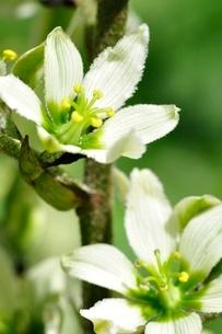 オオバイケイソウの花の写真素材 [FYI03386621]