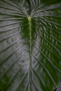クワズイモの葉の写真素材 [FYI03386645]