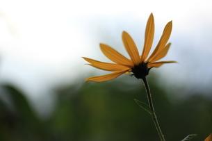 黄色い花の写真素材 [FYI03386758]