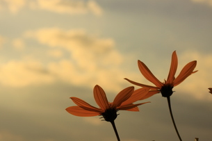 夕暮れの花の写真素材 [FYI03386759]