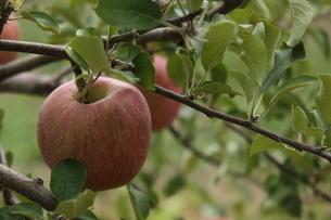 りんごの写真素材 [FYI03386776]