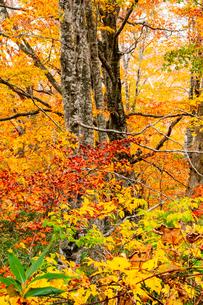 吾妻山ブナ林紅葉の写真素材 [FYI03386783]