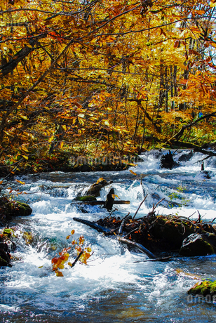 奥入瀬渓流の清流と紅葉の写真素材 [FYI03386911]