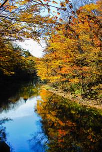 奥入瀬渓流の鮮やかな紅葉の写真素材 [FYI03386916]