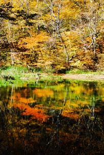奥入瀬渓流の鮮やかな紅葉の写真素材 [FYI03386919]