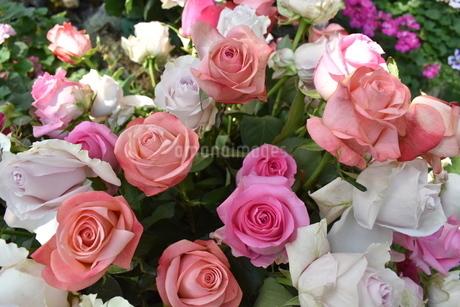 バラの花々の写真素材 [FYI03387019]