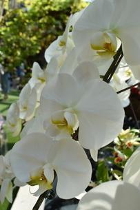 蘭の花のアップの写真素材 [FYI03387021]