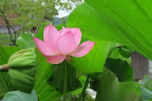 蓮の花の写真素材 [FYI03387028]