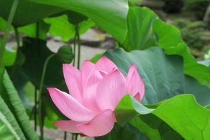 蓮の花の写真素材 [FYI03387029]