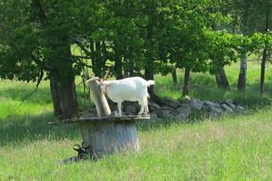 高い所に登る白ヤギの写真素材 [FYI03387034]