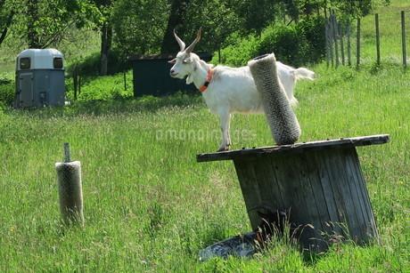 高い所に登る白ヤギの写真素材 [FYI03387035]