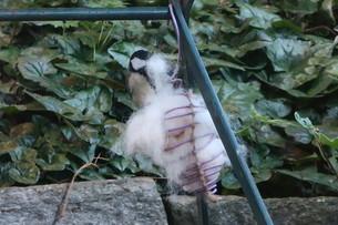 巣材用に犬の抜け毛を取る鳥の写真素材 [FYI03387036]