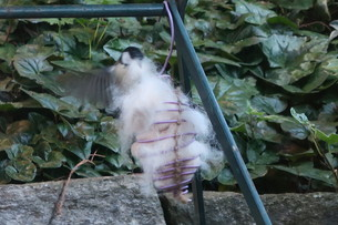 巣材用に犬の抜け毛を取る鳥の写真素材 [FYI03387037]