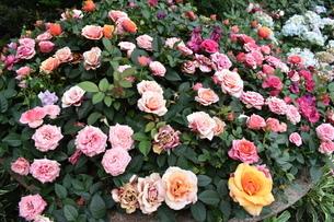 無数の花の写真素材 [FYI03387113]