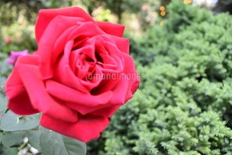 一輪の薔薇の写真素材 [FYI03387115]