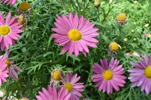 ピンクのお花畑の写真素材 [FYI03387116]