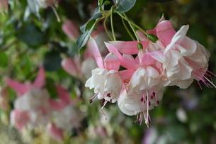 ピンクと白の花 アップの写真素材 [FYI03387118]