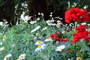 お花畑の写真素材 [FYI03387123]