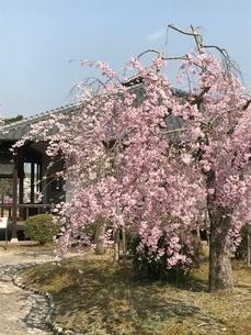 日本の桜の写真素材 [FYI03387151]