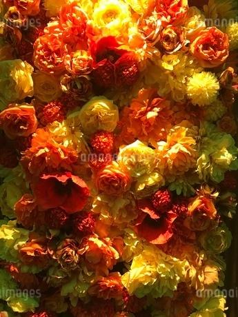 一面花  黄色の写真素材 [FYI03387159]