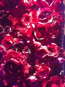 一面花  ピンクの写真素材 [FYI03387161]