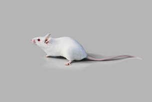 ネズミの写真素材 [FYI03387184]